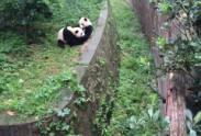 成都大熊猫繁育研究基地值得一去