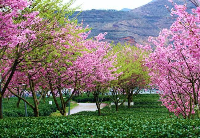 五五户外【动车团】龙岩樱花、云水谣古镇、鼓浪屿 四天纯玩团 春节两期